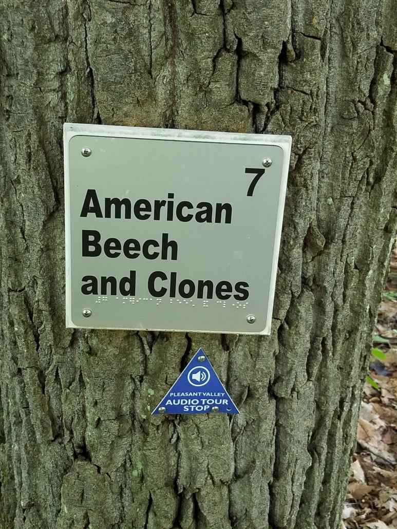 American beech and clones